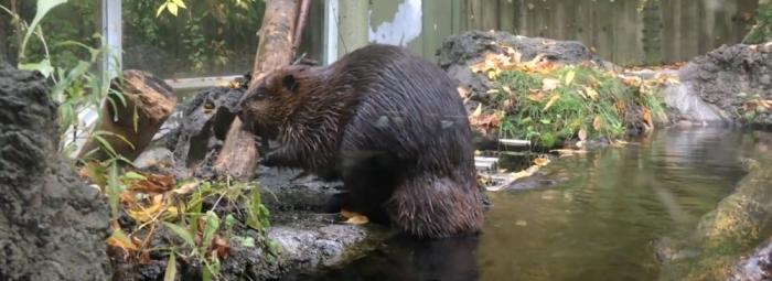 Beaver Genome With Dr. Tara Paton Of Sick Kids