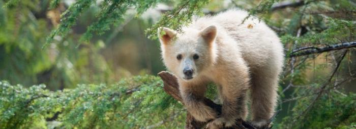 Ryan Reynolds Is Affectinately Jokesy With IMAX Spirit Bears