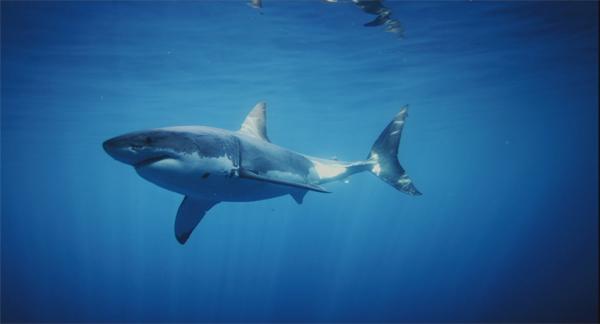 greatwhiteshark2